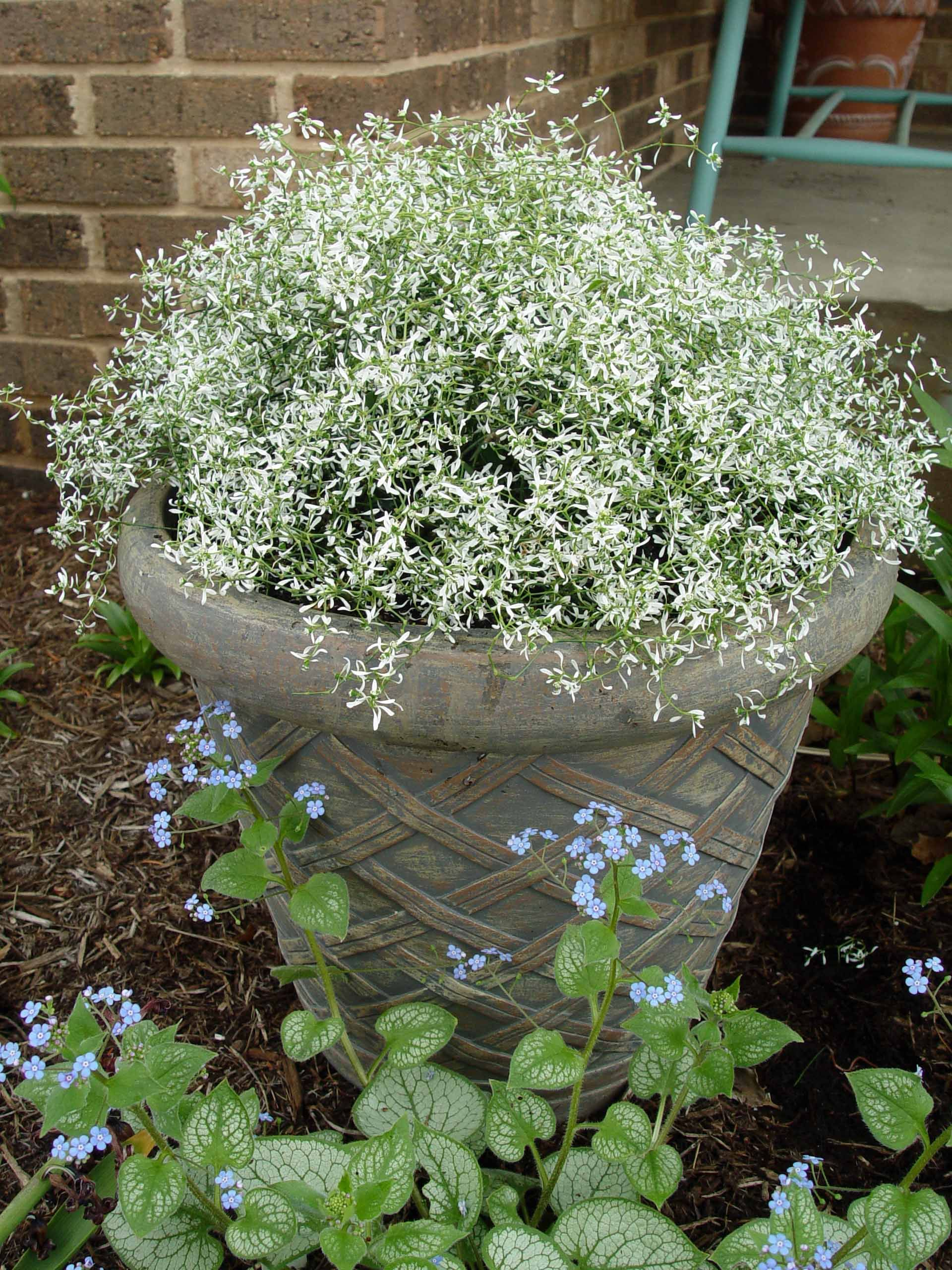 Full Garden In Backyard: Euphorbia.diamond.frost. Annual Except In Zone 10; Full