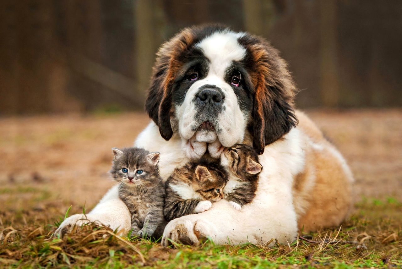 St. Bernard & Kittens.