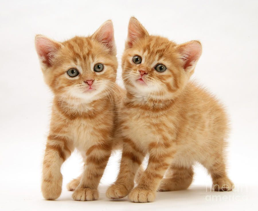 British Shorthair Red Tabby Kittens By Jane Burton Tabby Kitten Kittens Cutest Cute Baby Animals