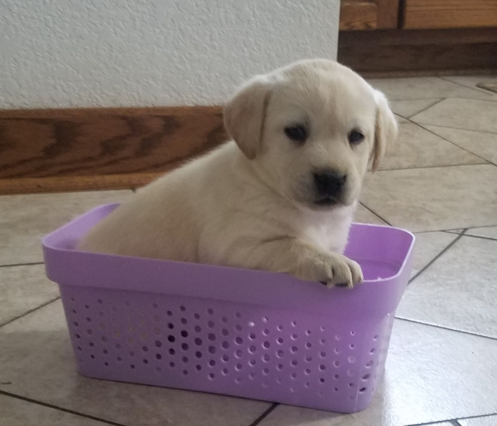 Dolle AKC Labrador Retriever doggie for sale at Woodburn