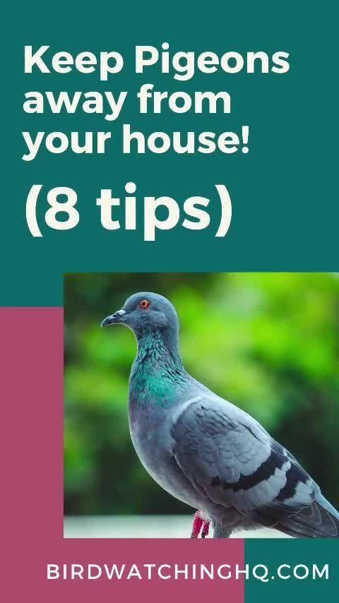 3ddd388b50c6f5e3349c2e8bbb60086a - How To Get Rid Of Pigeons In My Barn