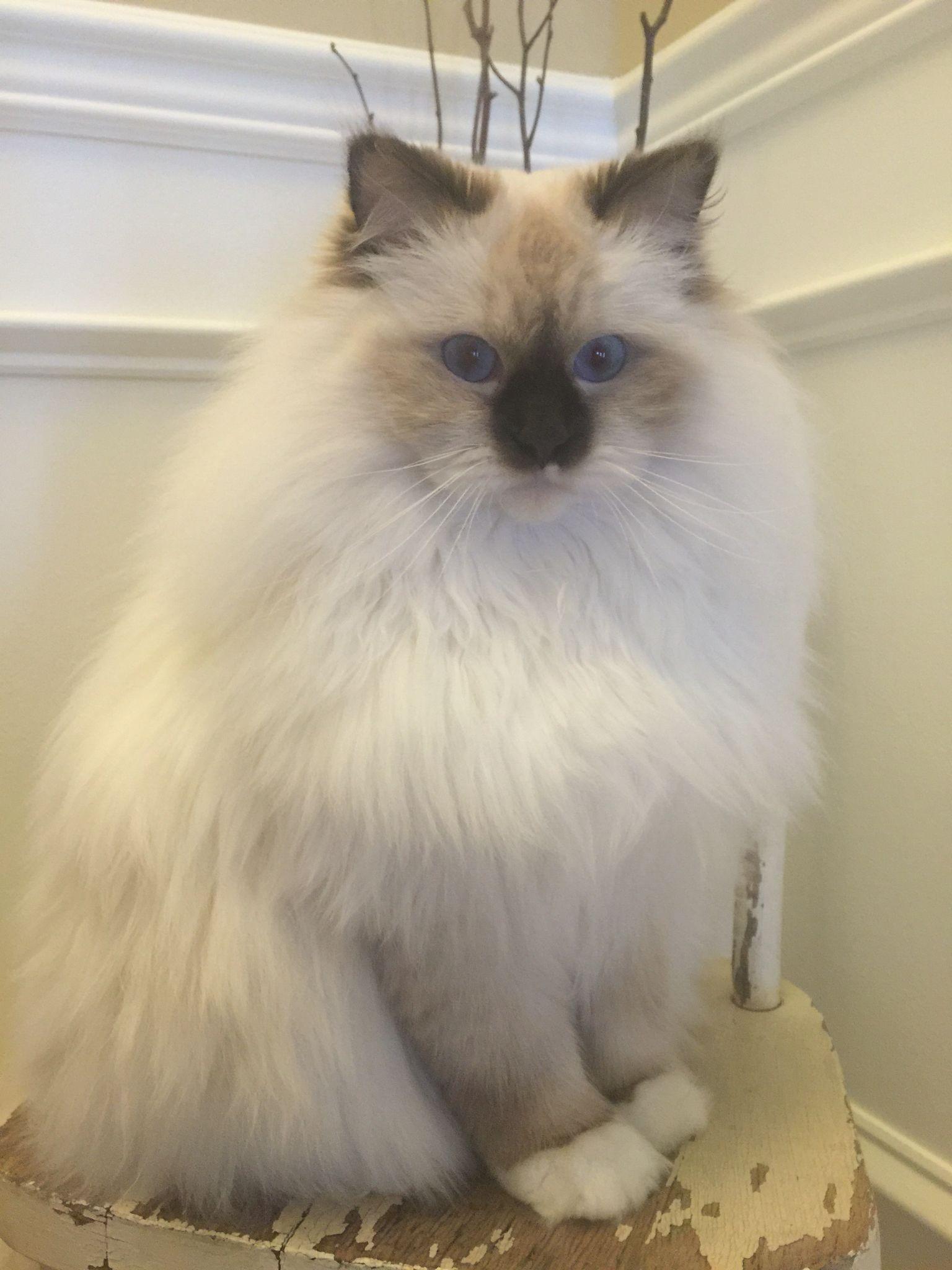 Rowan Wyatt Choc Mitted Ragdoll Ragdoll Cat
