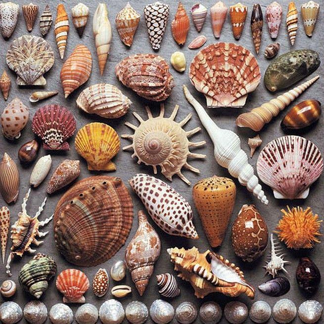 название морских ракушек с картинками публикует