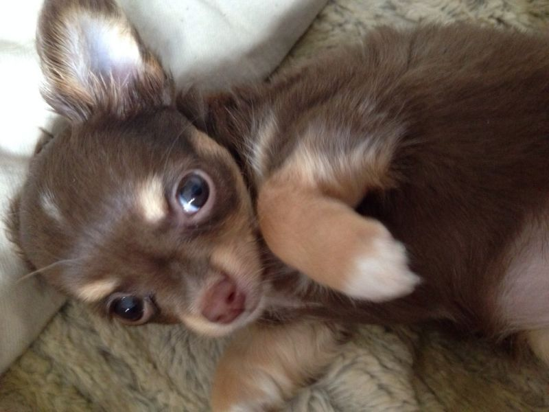 Zuckersusse Kleines Langhaar Chihuahua Madchen Chihuahua Chihuahua Welpen Chihuahua Welpen Kaufen