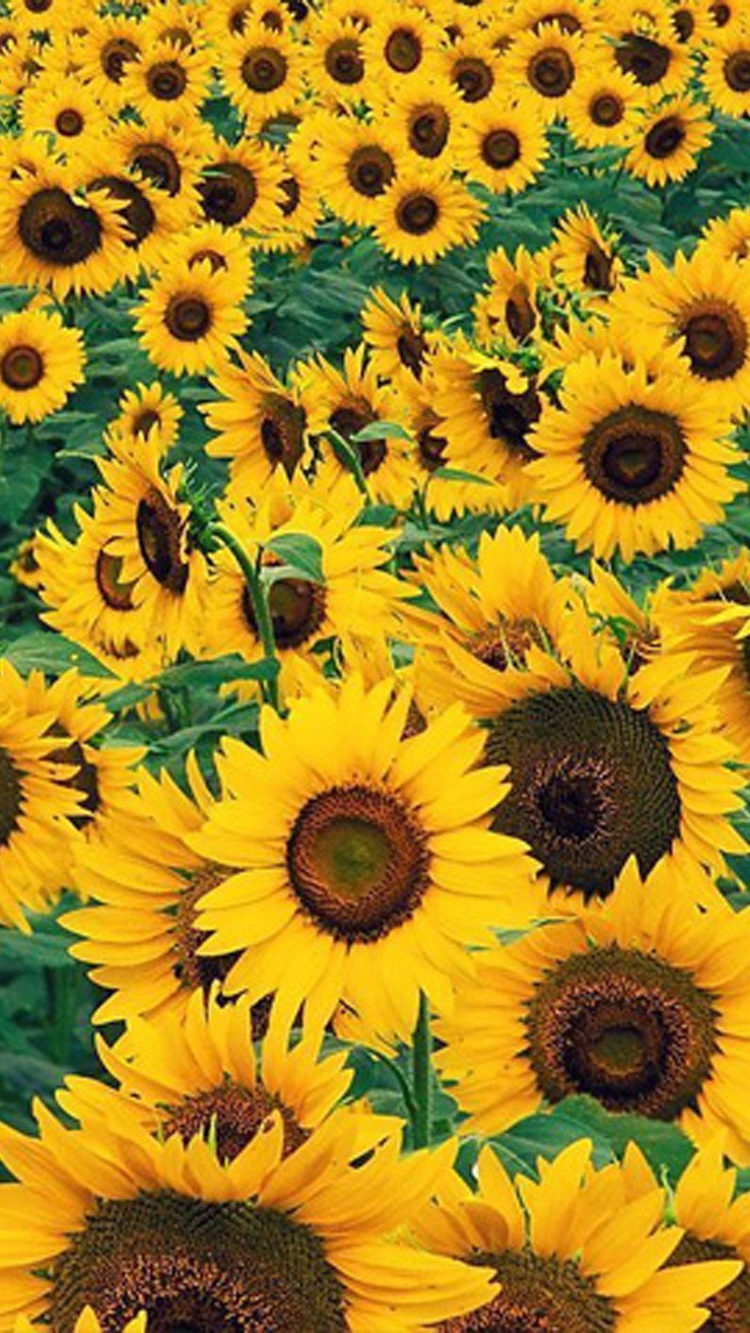 Sunflower Wallpaper Desktop : sunflower, wallpaper, desktop, Yellow, Sunflowers, Android,, IPhone,, Desktop, Backgrounds, Wallpapers, (1080p,, 4k)…, Sunflower, Iphone, Wallpaper,, Wallpaper, Christmas