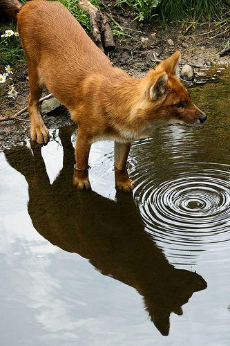 Endangered Dhole, Indian Wild Dog [Cuon alpinus]