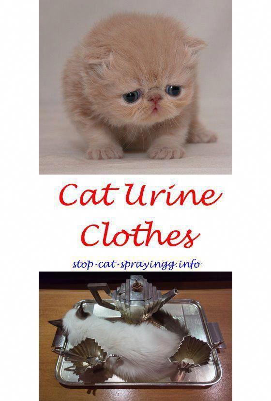 Cat stress spray.Raid flea killer plus carpet and room spray cats cost.Spray that kills cat fleas fast - How To Stop Cat Spraying?