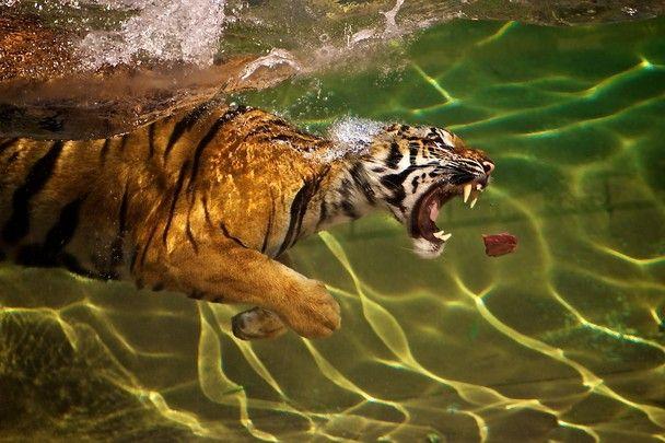 Tigers can swim...