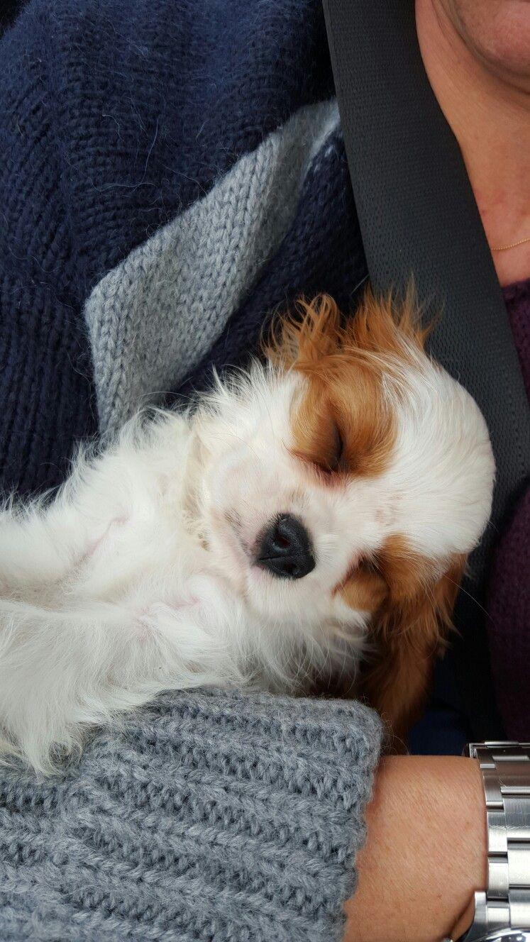 Marcus King Charles Cavalier Spaniel Puppy Cavalier King Charles Spaniel King Charles Spaniel