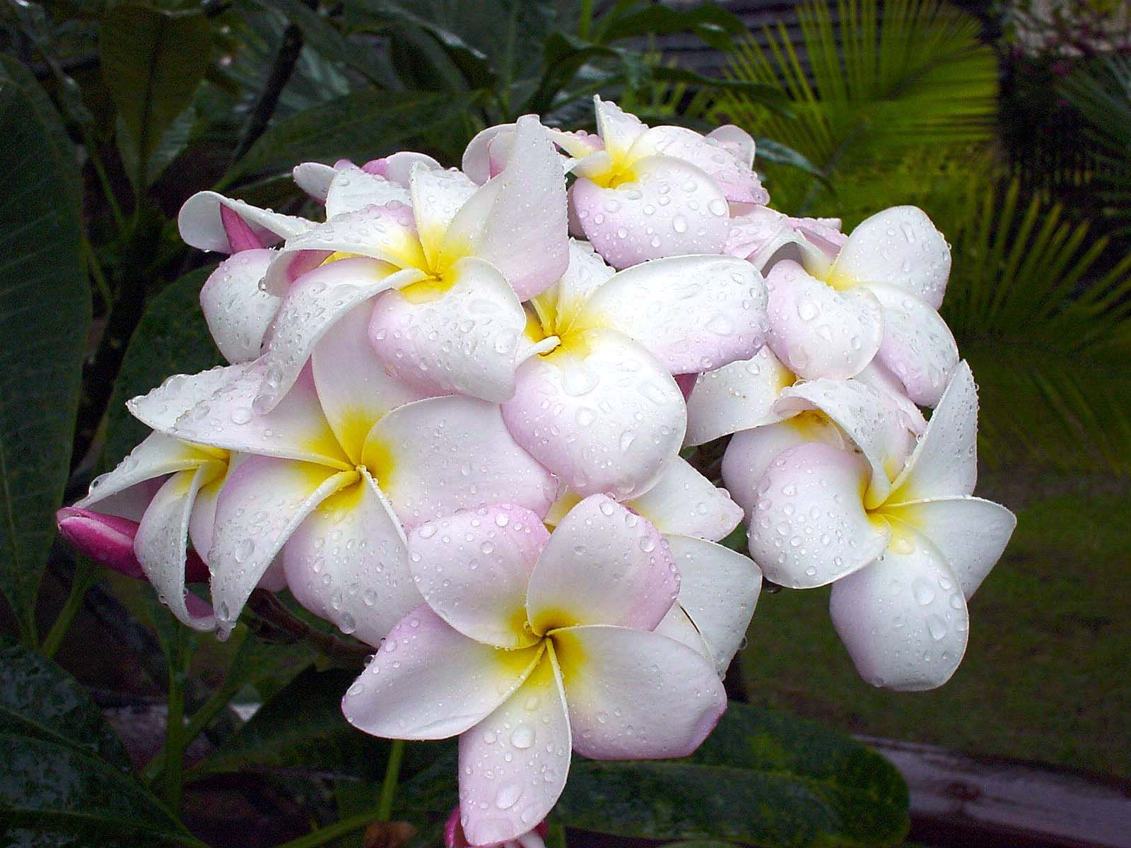 Plumeria hawaii flower photography hawaiian island flowers plumeria hawaii flower photography izmirmasajfo