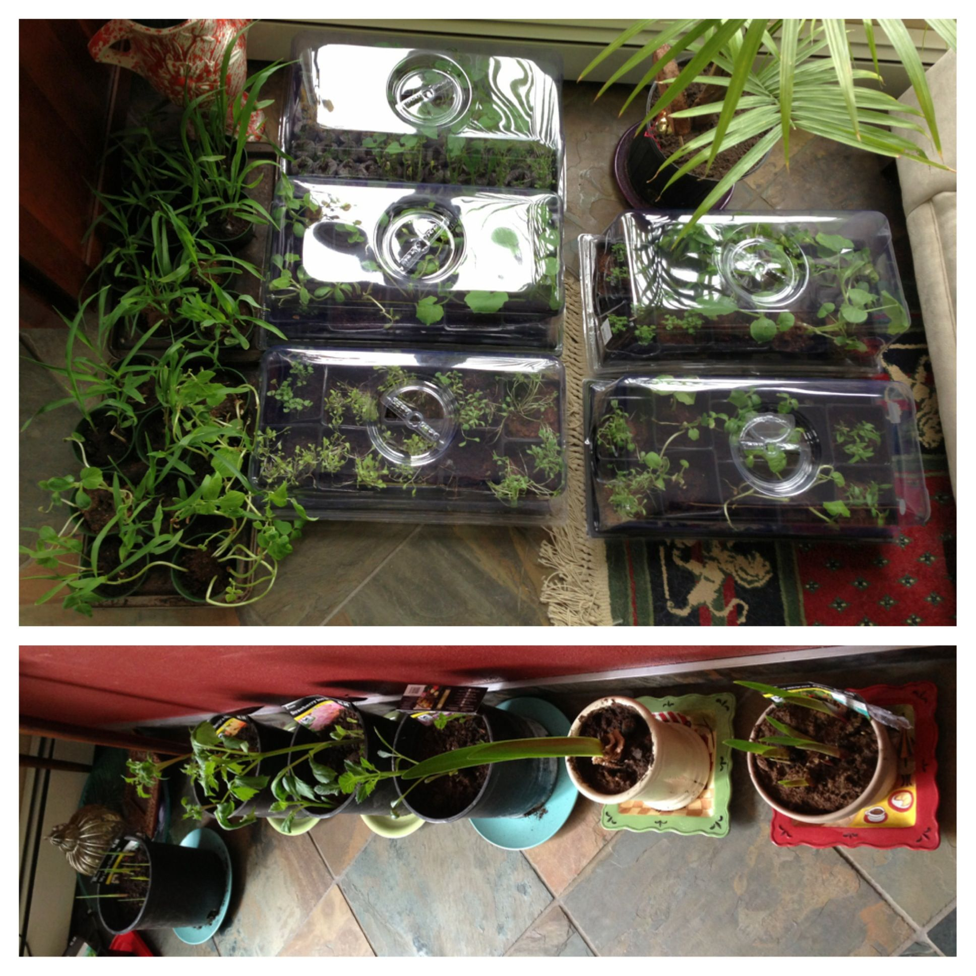 Indoor gardening in Alaska. Almost warm... In two more months ...