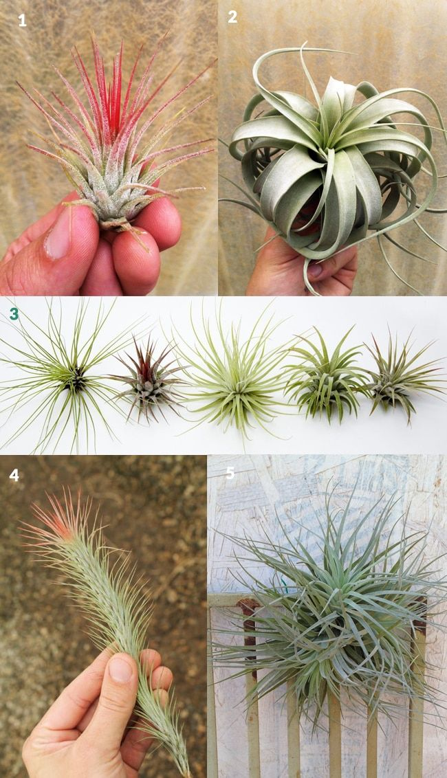 Gifts For Tillandsia Aka Air Plant Lovers Air Plants Pinterest