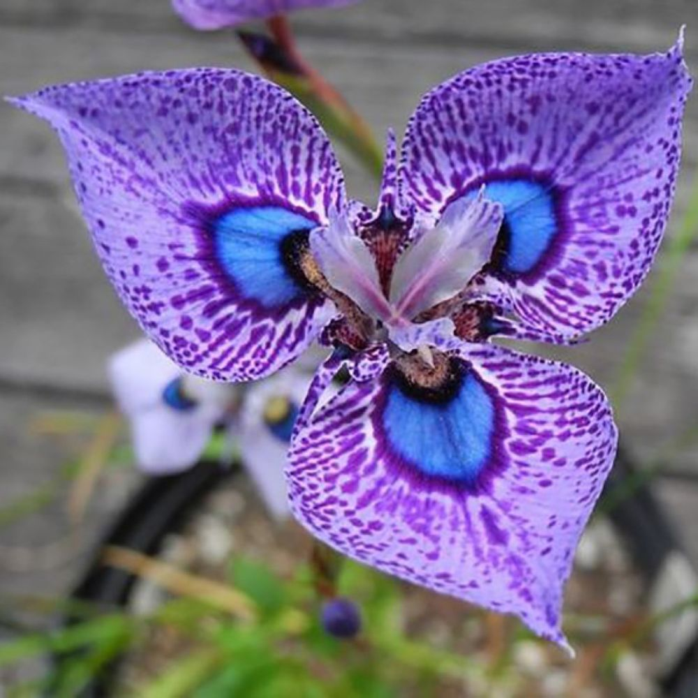 Phalaenopsis orchid flower seeds bonsai ornamental home potted plant