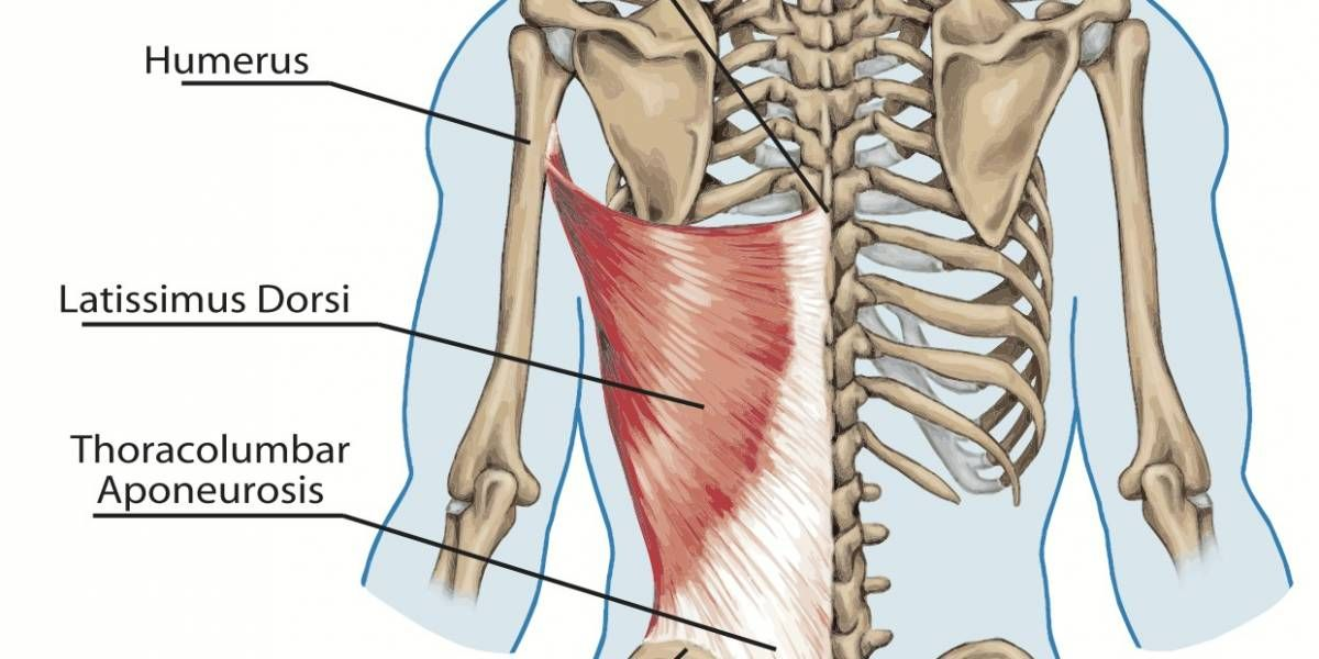 Image result for latissimus dorsi | Anatomy | Pinterest