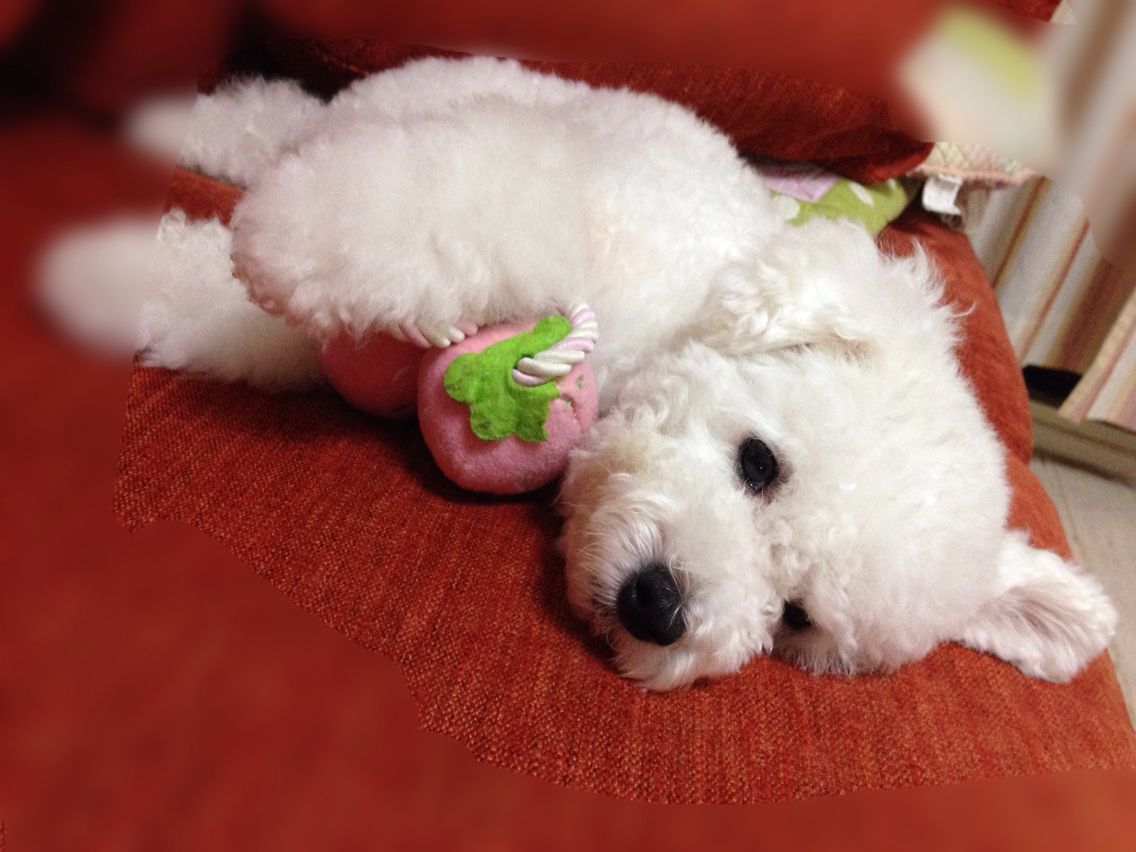 My strawberry toy poodle puppies bichon frise dogs