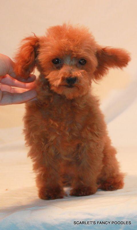 Red Akc Toy Poodle Scarlet S Fancy Poodles Toy Poodle Poodle