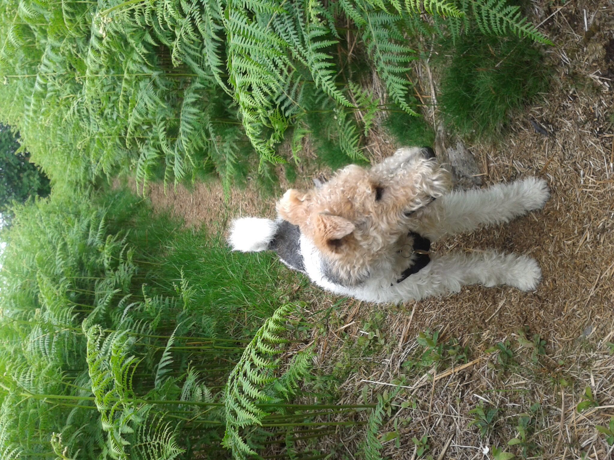 My wire fox terrier  having a great time up Brimmond hill