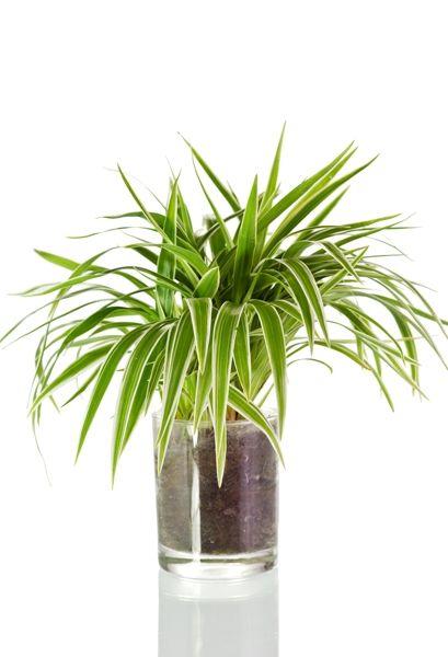 Zimmerpflanzen Dunkle Standorte zimmerpflanzen für dunkle räume grünlilie zimmerpflanzen