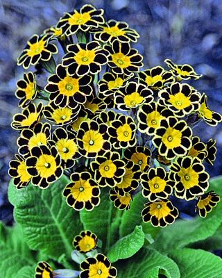 Victoriana Silver Laced Black Primula Smelling Flowers Black Flowers Beautiful Flowers