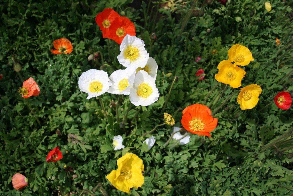 perennial flower seeds bulk