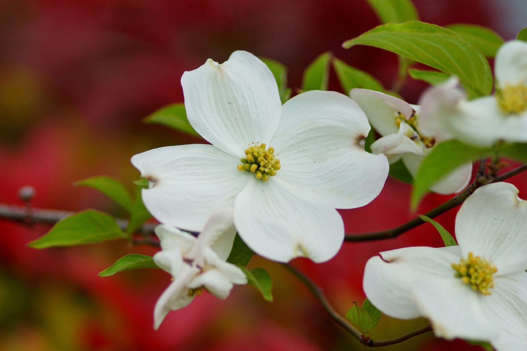 https://flic.kr/p/egTcuG   はなみずき (花水木)/Cornus florida   20130421-DSC08107 花の回廊 はなみずき (花水木)/Cornus florida ミズキ科ヤマボウシ属英名 Flowering dogwood, Eastern flowering dogwood