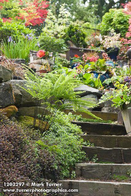 1203297 Maidenhair Fern beside wooden steps [Adiantum pedatum]. Ted & Jeanette Dunham, Bellingham, WA. © Mark Turner