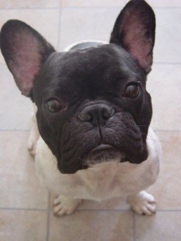 French Bulldog Black Head And White Body Amazing Cute French