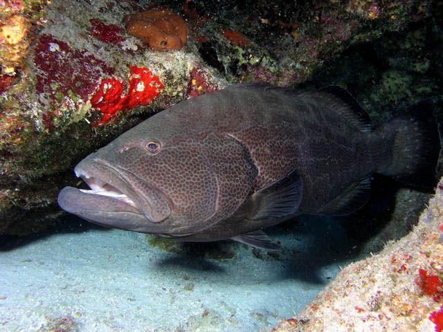 Black Grouper Marine Fish Animals Beautiful Fish Pet