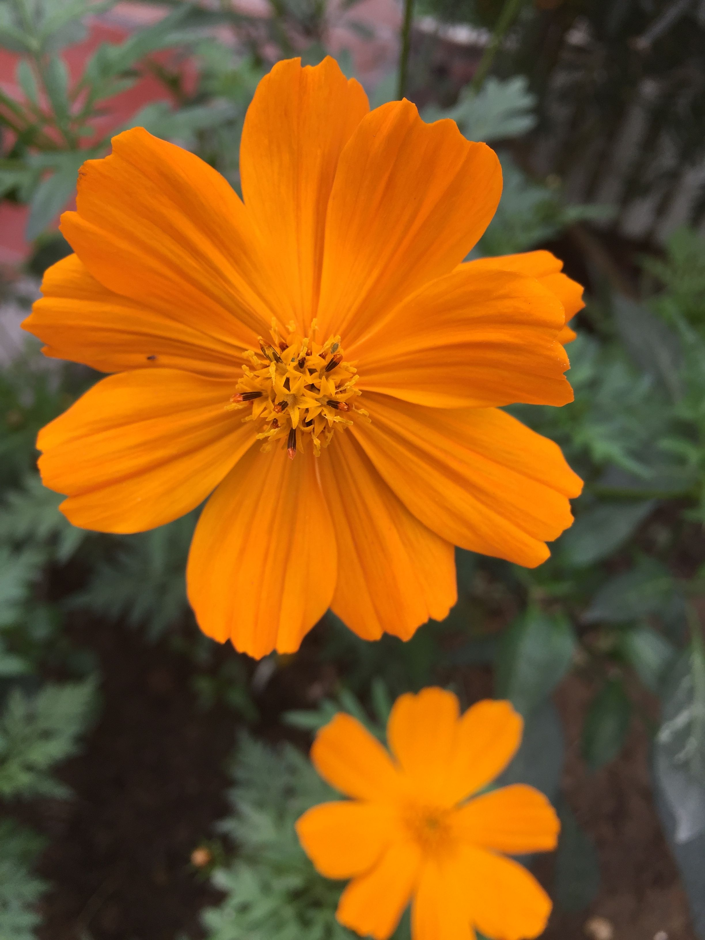 Pin By Giovana Sandrin On Cosmo Amarelo Orange Plant Cosmos Flowers Plants