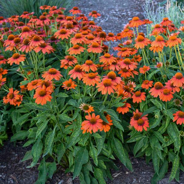 Echinacea Sombrero Adobe Orange Balsomador Pp26639 Cpbr5636 Us7 982 110 Walters Gardens Inc Perennials Echinacea Purple Garden