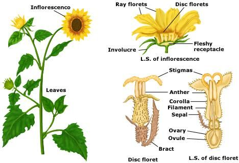 Pin By Laura M On Biologia Planting Sunflowers Parts Of A Plant Sunflower