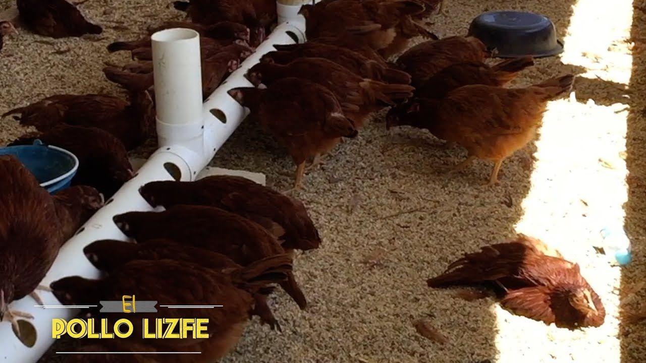 Como hacer un comedero para gallinas ponedoras cria de for Como hacer un criadero de cachamas