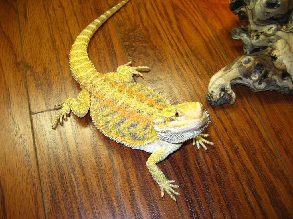 Citrus tiger bearded dragon - photo#15