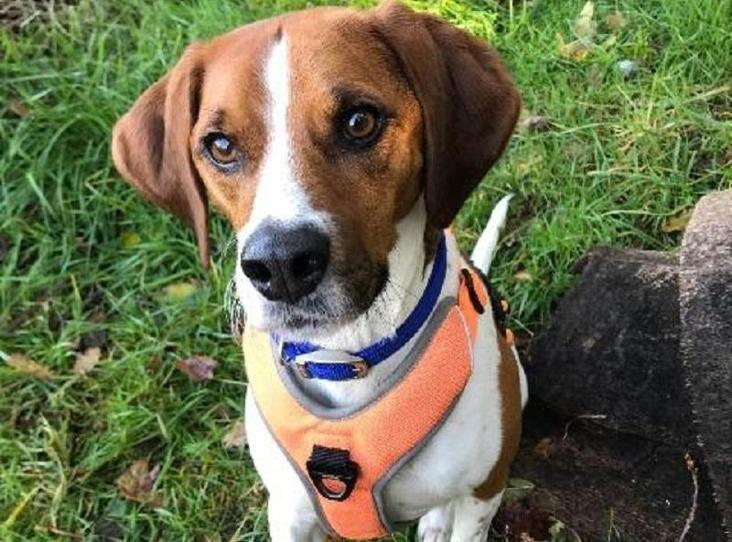 OZZIE Find a pet Beagle, Animals