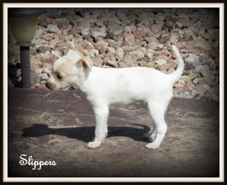 Slippers Is Available For Adoption At National Mill Dog Rescue Adoptdontshop Nmdr Rescuedogs Nopuppymills Dog Puppy Pets Dog Adoption Rescue Dogs