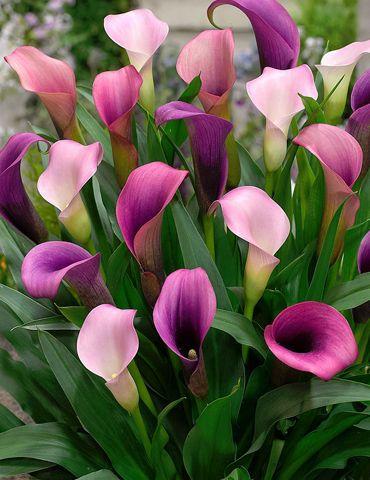 A Beatiful Multi Dimensional Calla Lily Which Changes From Shades Of Deep Purple To Light Pink A Delightful Calla L Lily Plants Calla Lily Flowers Lily Flower