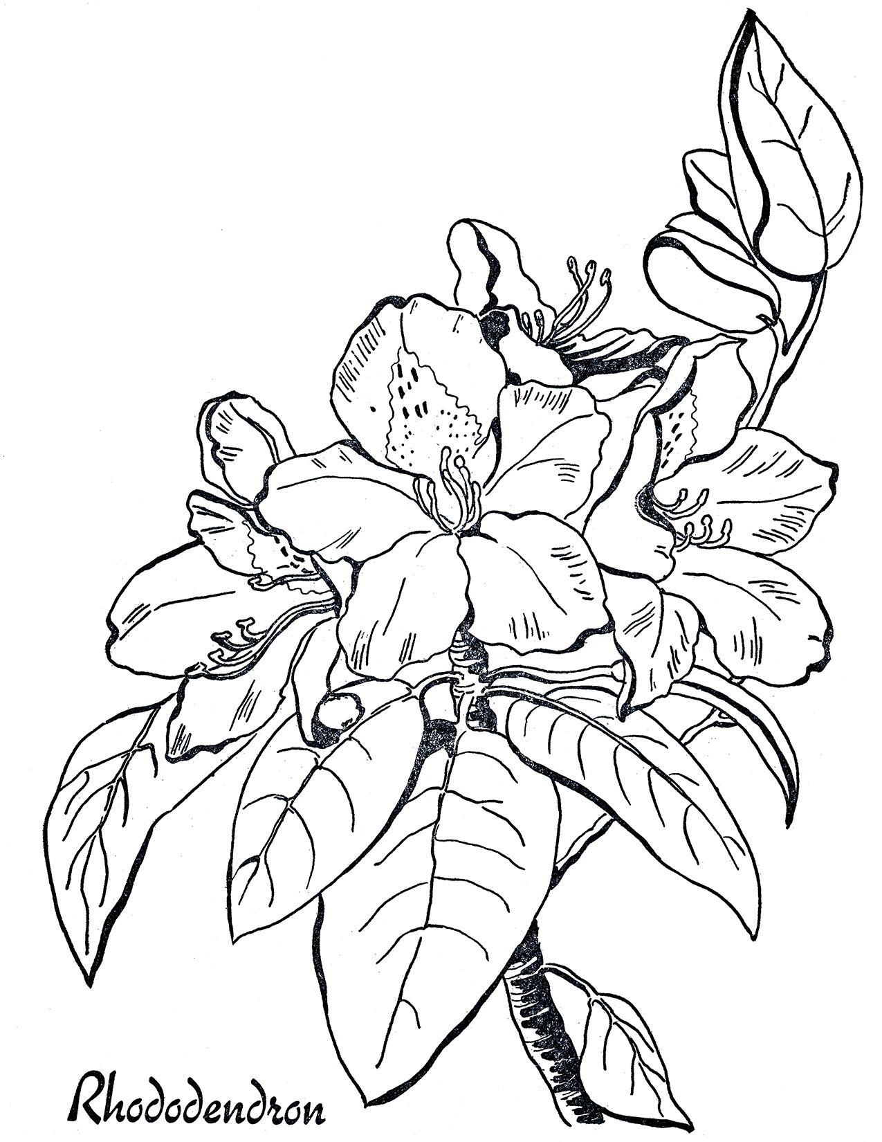 Rhododendron Line Art - Coloring Page | Dibujo de flores, Dibujos de ...