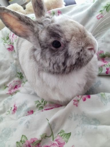Bunny Reclines On The Comfy Bed Cute Baby Bunnies Pet Rabbit Care Cute Bunny