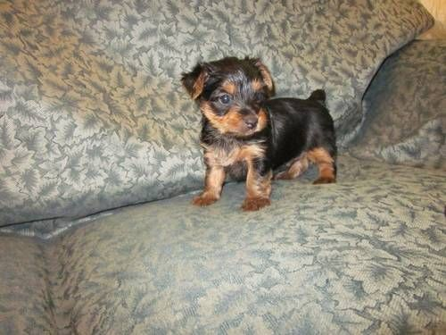 Dogs Puppies For Sale In Atlanta Ebay Classifieds Kijiji Page 1 Yorkie Puppy Yorkshire Terrier Yorkie