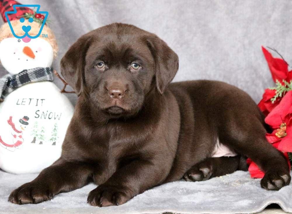 Christmas Labrador Retriever Chocolate Puppy For Sale