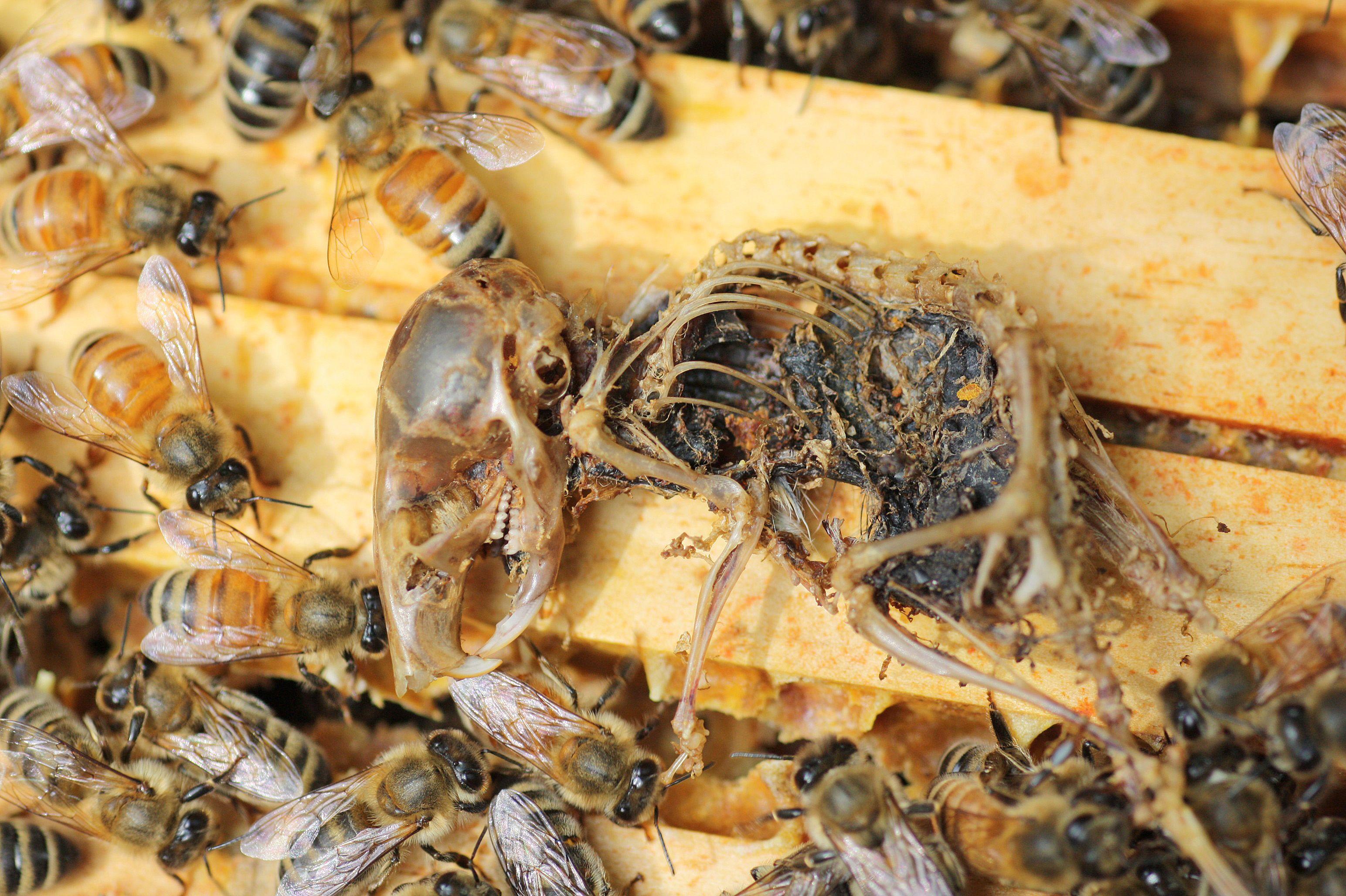 Do mice eat bees | livestock | Top bar hive, Bee, Backyard