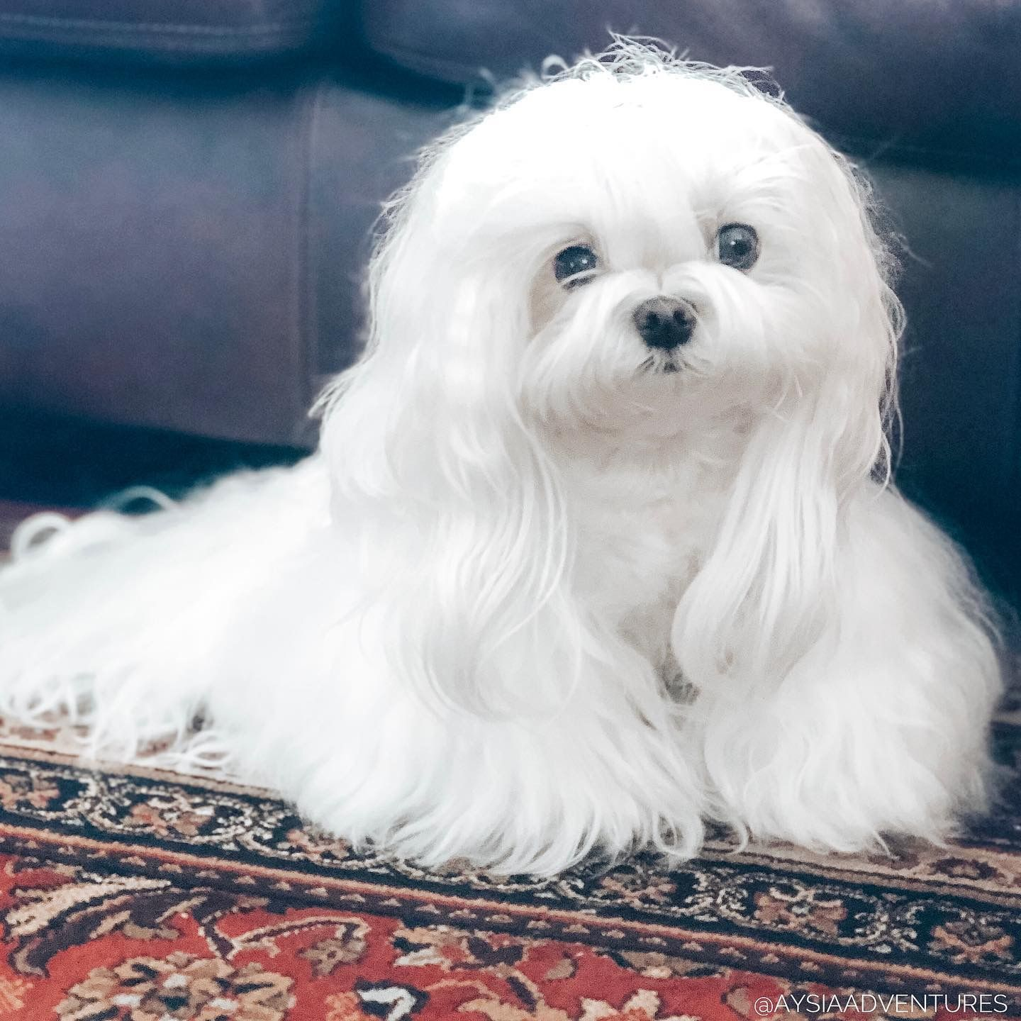 Pin By Lynne Shapiro On Maltese Cutest Small Dog Breeds Maltese Puppy Teacup Puppies Maltese