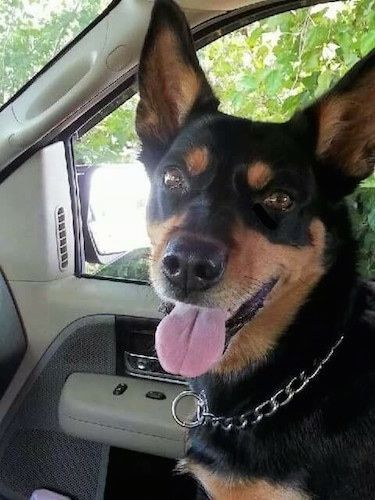 Australian Kelpie Dog Breed Information and Pictur