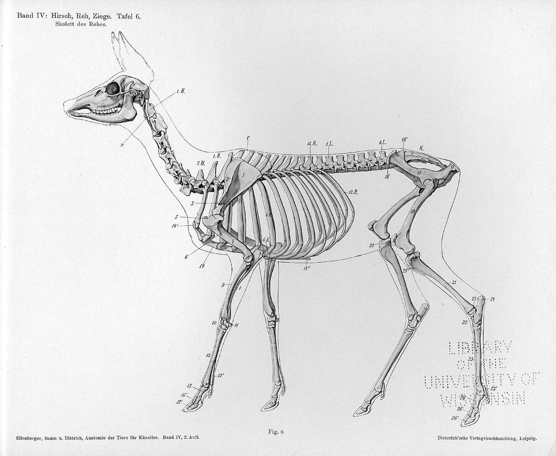 deer skeleton | References | Pinterest | Skeletons, Animal anatomy ...