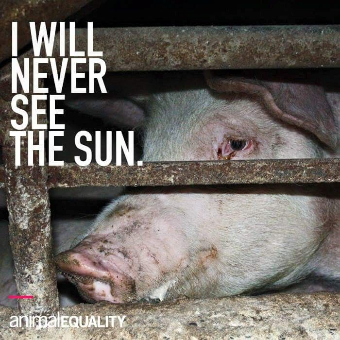 """Why do we support this? Unloved, unhealthy, unethical. Treatment of pets in this way would be illegal but for animals farmed for food it s legal. 99% of pigs are raised this way indoors in confined stalls on factory farms. Appalling. Is """"bacon"""" worth what we do to these highly intelligent creatures? GO VEGAN!"""