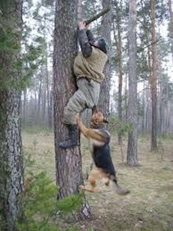 Golden Retriever Vs Labrador Retriever Vs German Shepherd Pros