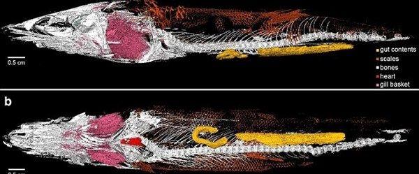 Dünyanın en yaşlı kalbi 116 milyon yaşında