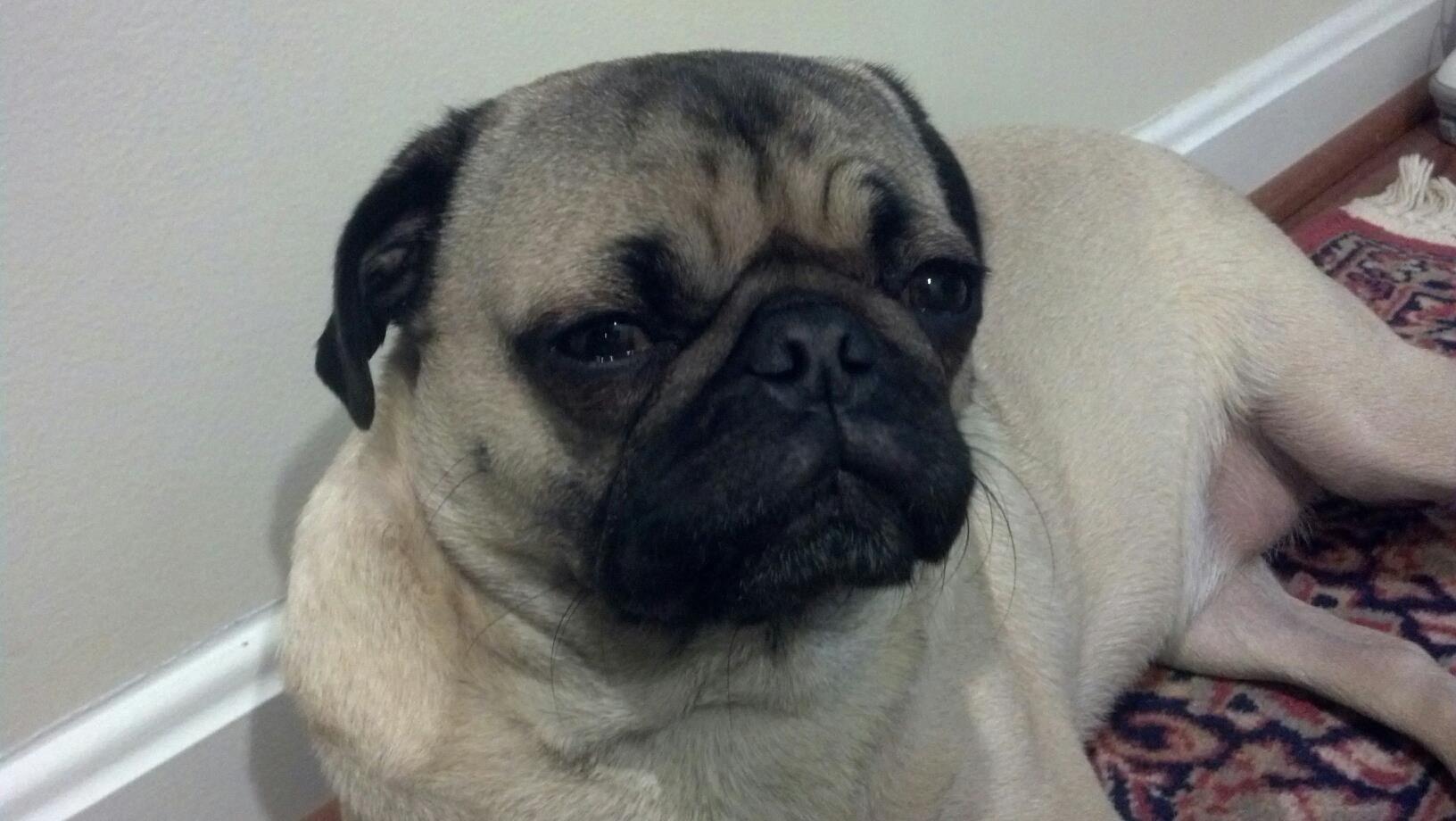 I am very suspicious of you #Monty #pug #cute