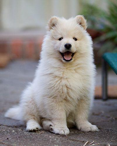 Finnish Lapphund Puppy Samoyed Dogs Cute Animals Cute Dogs