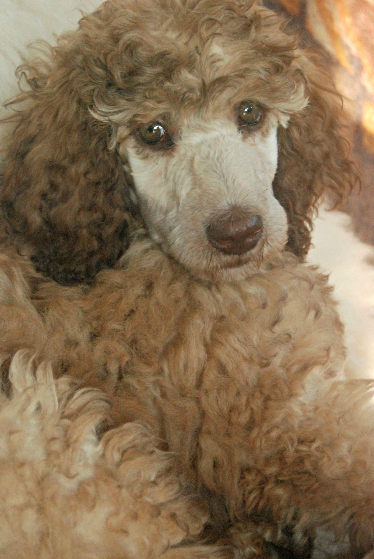 Silver Beige Standard Poodle